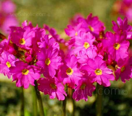 Primula rosea grandiflora is a delightful plant that grows a tight clustered crown of glossy pointed leaves 10 to 15cm tall.