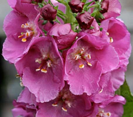 'Rosetta' produces elegant spires of intense dark pink blooms which are always much admired.