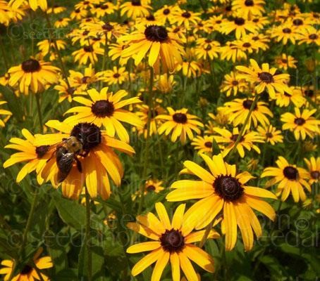"Rudbeckia hirta ""My Joy""  (Collection)"