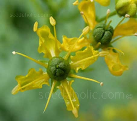 Rue, as an herb has for centuries been used by herbalists to treat almost every ailment known to man.