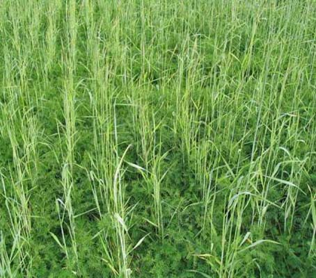 Tares and Rye are a popular combination for use as a cover crop or winter manure. The plants work extremely well together
