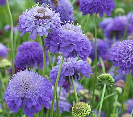 Scabiosa atropurpurea 'Oxford Blue' is a reselected variety that boasts the most desirable of deep blue flowers.