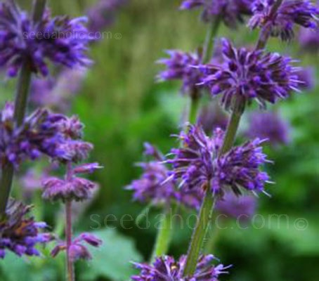 Salvia verticulata 'Purple Fairy Tale' is a spectacular first year flowering perennial.