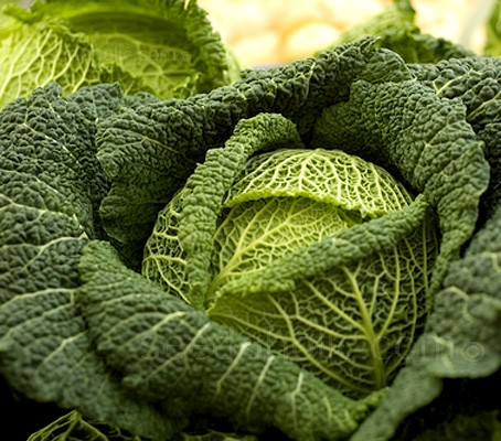 "Cabbage ""Vorbote 3"" produce an attractive savoy cabbage with an arctic-like tolerance to the cold."