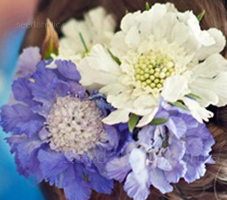 Developed for cutting 'Issac House Hybrids' bloom in a lovely mix of blue, white and lavender.