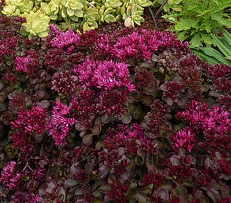 'Voodoo' has intense dark mahogany foliage with almost neon, luminous rosy-red flowers