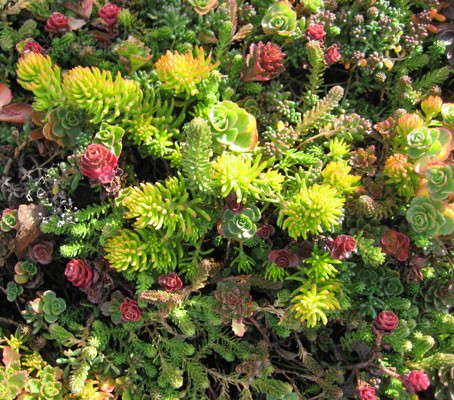 This mixture of many attractive low-growing sedum varieties represents a wide range of foliage types and flower colours.