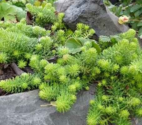 Sedum reflexum typically grows up to 10cm (4in) high, the foliage resembling mini spruce branches.