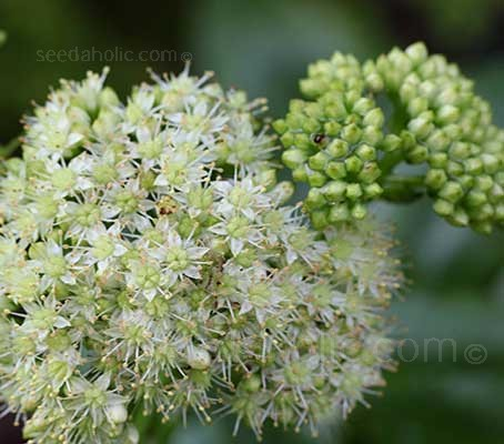 Sedum telephium ssp. maximum is quite common in gardens in its multitude of forms or as a parent of a cultivar.