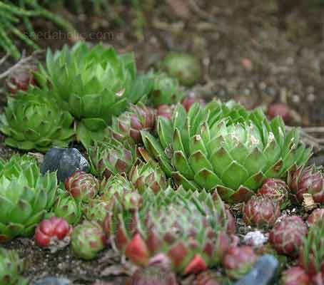 Whether planted in large numbers or used as a single specimen Sempervivum are both beautiful and enduring.