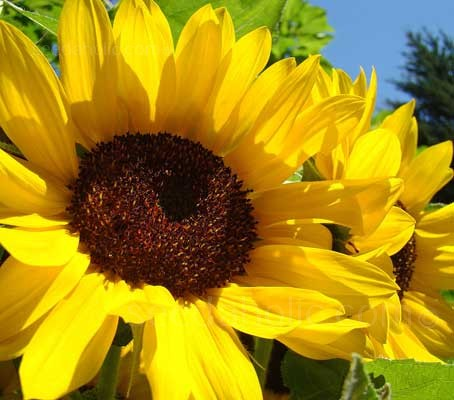 "Helianthus annuus ""Giant Single Yellow""  (Collection)"