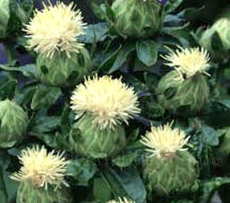 Carthamus 'Shiro' feature unusual cream, thistle-like blooms, with round, thornless leaves and round flower buds.