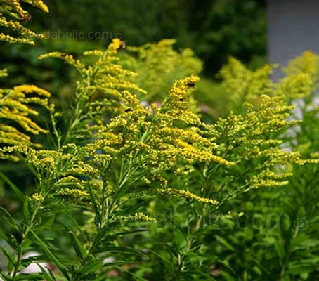 Solidago 'Golden Baby'  is a hardy perennial that bears flat-topped clusters of golden-yellow plumes