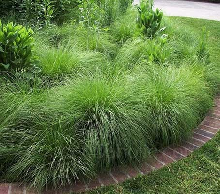 Several plants can be grown together to create a grassy matrix for hardy perennials or low shrubs.