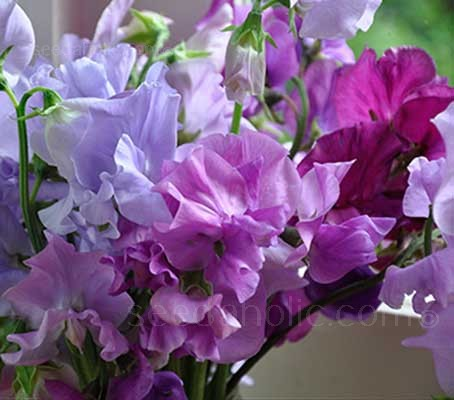 A blended mixture of outstanding quality. Composed of over 40 colours and shades of the Spencer Waved sweet peas.