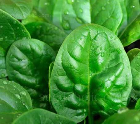 Emilia is fast growing and very versatile. It is suitable for both baby leaf or for use as regular spinach.