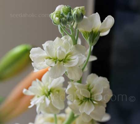 Matthiola incana 'Pillow Talk'. This pure white variety of our familiar Stocks is simple, sophisticated and calming.