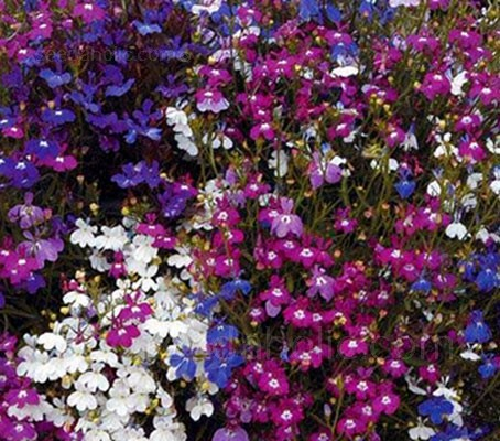 This ultra-floriferous variety is the perfect filler plant for pots, planters and tubs, or even large scale border plantings.