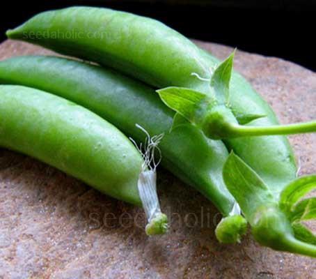 Sugar Snap 'Delikett' is a high quality variety sugar snap pea.