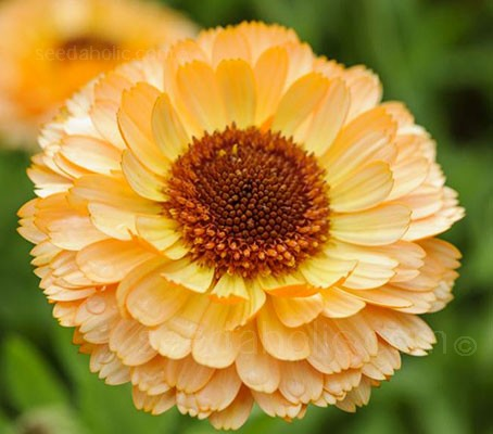 Calendula officinalis 'Pink Surprise' is a striking blend of brilliantly coloured orange, yellow and apricot-pink delicately ruffled blooms.