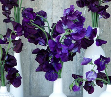 Lathyrus odoratus 'Lord Nelson' has beautiful, rich dark blue flowers and a powerful scent.