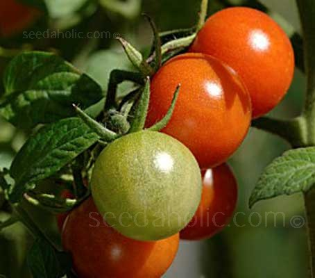 Tomato 'Sweetie' plants are vigorous and reliable producing high quality fruit, even in adverse conditions.