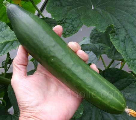 Cucumber 'Telegraph Improved' is an improved strain of this superb English heirloom