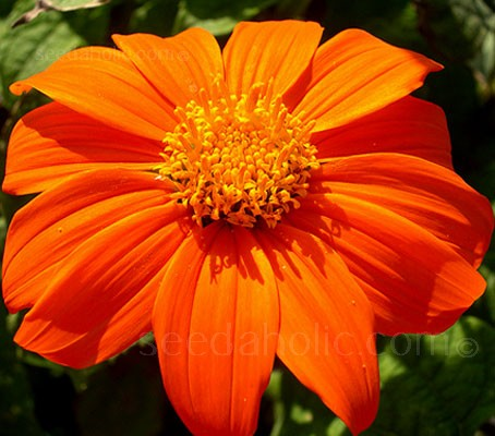 Brilliant sizzling, orange-scarlet flowers cover this vibrant ornamental plant, with velvety textured leaves and huge daisy like blooms.