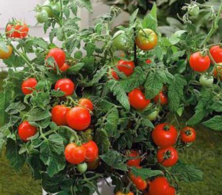"""Tomato """"F1 Totem"""" has an upright habit that is perfectly suited for a patio container, however, this is no mere ornamental."""