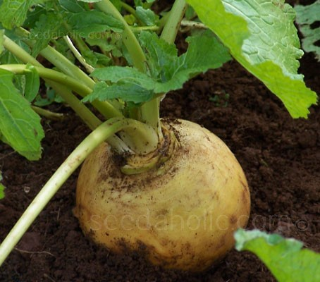 Turnip 'Goldana'