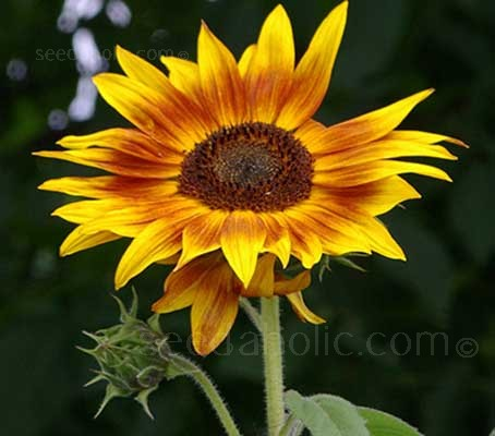 While technically a dwarf variety, Twilight Zone Sunflowers can reach heights up to 80cm (32in).