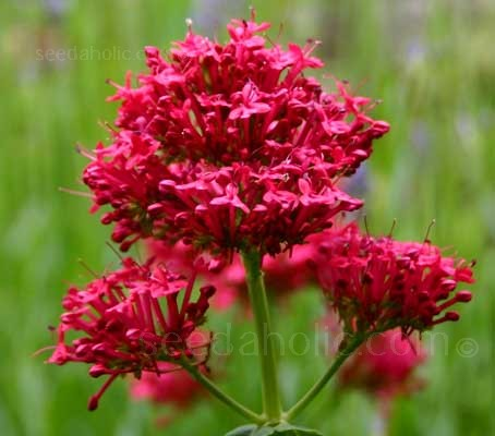 Centranthus ruber is a cottage garden favourite that's made it back into the style books.
