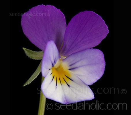 Viola tricolour (Collection)