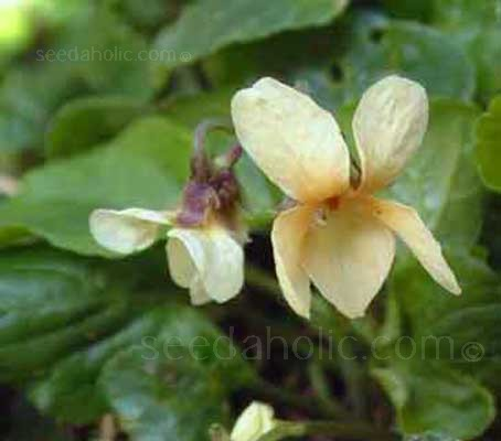 Viola odorata 'Irish Elegance' is an unusual form of our native sweet violet, with soft primrose yellow flowers and apricot tinted centres