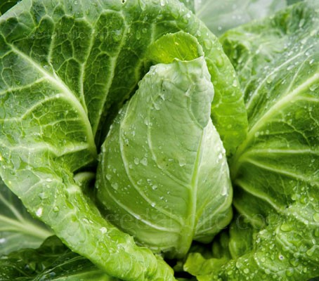 Cabbage 'Wheelers Imperial' produces firm, well-flavoured, pointed, tender hearts for a spring harvest.