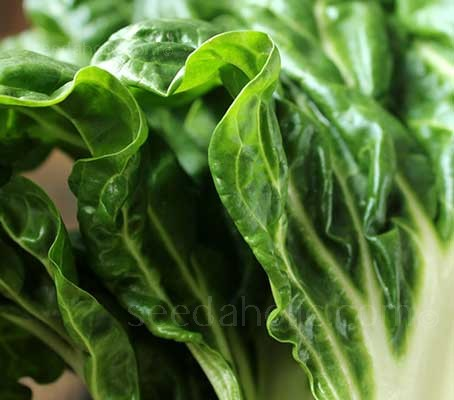Swiss Chard 'White Silver' has beautiful emerald green leaves that are delicious when cooked.