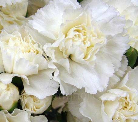 Dianthus caryophyllus, 'Grenadin White'