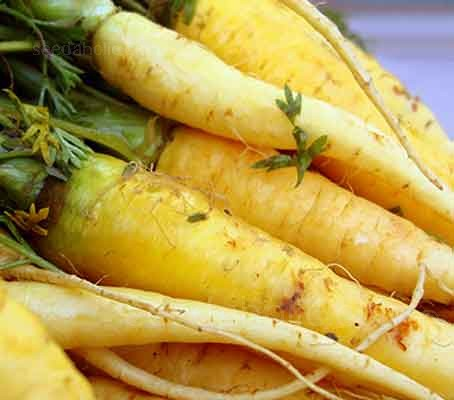 Solar Yellow produces moist and crunchy carrots, they are delicious raw and retain their bright colour when cooked.