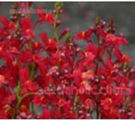Linaria maroccana, Licilia Series, 'Licilia Red'