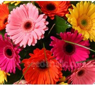 Gerbera jamesonii 'Single Flowered Hybrids'