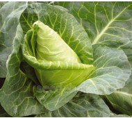 Cabbage 'Advantage F1'