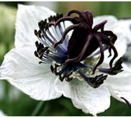 Nigella papillosa 'African Bride'