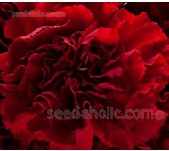 Dianthus caryophyllus, 'Grenadin King of the Blacks'