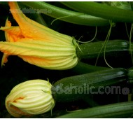Courgette 'F1 Midnight'