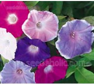 Ipomoea nil 'Early Call Mixed'