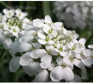 Iberis umbellata 'White' Candytuft