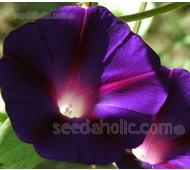 Ipomoea purpurea 'Kniola's Black'