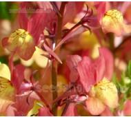 Linaria maroccana, Licilia Series, 'Licilia Peach'