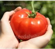 Tomato 'Super Marmande', Organic