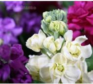 Matthiola incana 'Lucinda' - Series of Single Colours